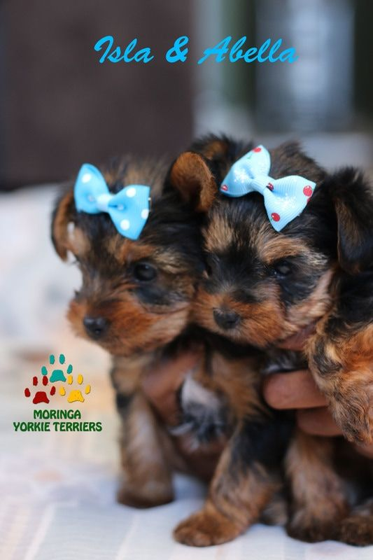 Yorkie Adoption Yorkie Puppies For Sale Healthy Yorkie Puppies Yorkshire Terriers Yorkie Tea Cups For Sale