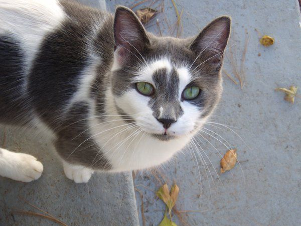 Cloudstorm-Gray and white she-cat with green eyes