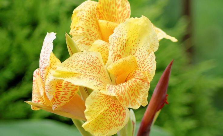 Draußen wird das in den Tropen beheimatete Indische Blumenrohr erst ab Mitte Mai gepflanzt. Doch wenn Sie den Kübel frostfrei aufstellen, können Sie die Rhizome schon jetzt antreiben.
