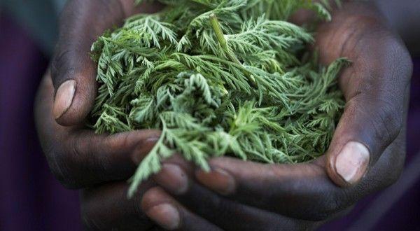 L'OMS interdit la plante artemisia annua, plus grand remède contre le cancer qu'elle eradique en 16 heures