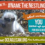 Help Name Two Adorable Baby Bald Eagles in Washington DC via the #NameTheNestlings Social Media Campaign!