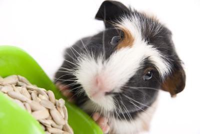 Checklist of Guinea Pig Supplies