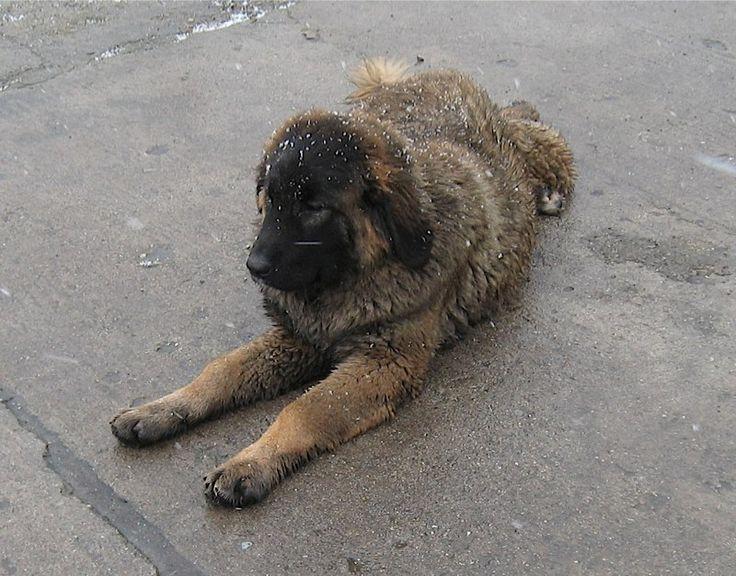 Owczarek kaukaski - suczka urodzona 20 czerwca 2013 - Hodowla Psów Rasowych