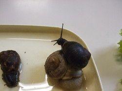 L'élevage d'escargots en classe