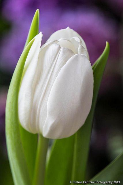 Tulipan Blanco hermoso. ☆☆☆