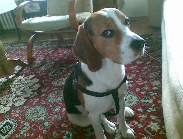 .:SZUKAMY MAILO!:.  Dnia 27.08.2014r. w godzinach wieczornych zaginął pies rasy Beagle, w rejonie Hallera/Grabiszyńska. Pies wabi się Mailo. Znalazcę proszę o kontakt! 605 084 584  Podaj dalej!