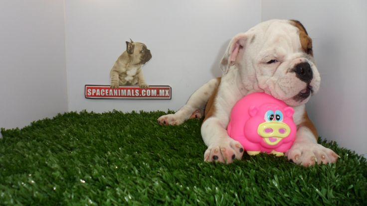 Compra venta de cachorros perros de raza Bulldog ingles pedigree hembras y machos Spaceanimals.com.mx pedigree azul¡Ahorros hasta del 50%! de Descuento y 12 Meses Sin Intereses paga seguro con Pay Pal ,Ventas por Teléfono: (01)(229) 2.60.31.86 / (01229) 3.06.02.03 / ID Nextel 42*15*597183 Móvil 22.99.60.60.77 / 22.92.91.20.91 WhatsApp Si estás en el extranjero llámanos al +52 229 260 3186 Encuentra las Mejores Razas en www.VentadeCachorrosPerros.com¡Compra Ahora!