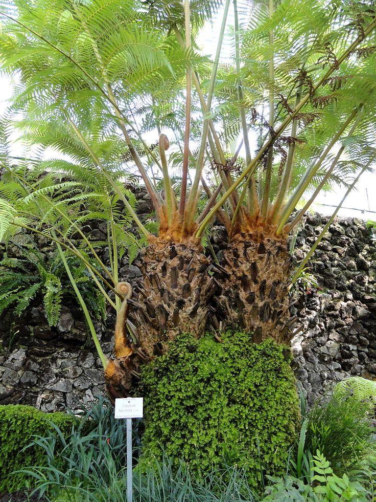 Fabulous Cibotium barometz Botanischer Garten M nchen