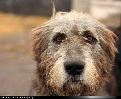 beautiful: Face, Animals, Dogs, Irish Wolfhounds, Pets, Baby, Friend, Eye