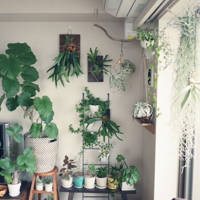 abeさんの、多肉植物,流木,キセログラフィカ,植物,観葉植物,ビカクシダ,コウモリラン,エアプランツ,チランジア,Lounge,のお部屋写真