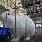 Florida white rabbit breed. The Florida White is a compact and strong rabbit.  It weights around 5lbs.  It comes from the USA originating from Polish, Dutch, and New Zealand White.  It is a pure white colour all over.  It has a flyback coat meaning its coat of fur quickly returns to its original position once rubbed in the opposite direction.