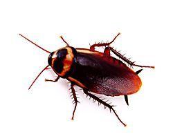 Truco para Ahuyentar Cucarachas   Ideas y Consejos