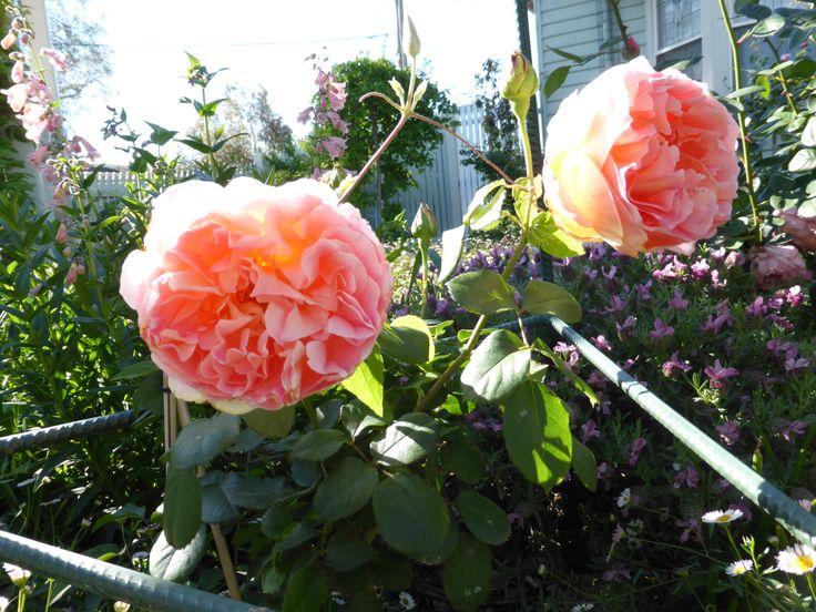 Rosa 'Papi Delbard' first blooms !