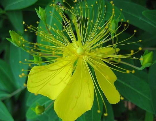 St John's wort: Strike Flowers