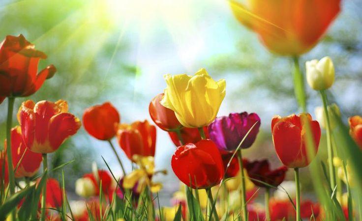 Tulipanes cuidados y mantenimiento