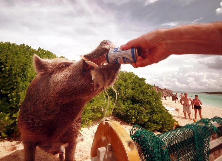 De beroemde zwemmende varkens werden dood aangetroffen op het strand, nadat toeristen hen herhaaldelijk bier en rum voerden.