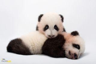 Due cuccioli di panda gigante, zoo di Atlanta, Stati Uniti. - (Joel Sartore, National Geographic Photo ark)