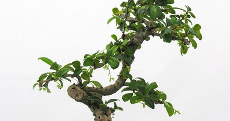 Cómo mantener las hojas pequeñas del bonsai. Los artistas del bonsái gustan cultivar estilos diferentes de plantas, cultivando las hojas para un tamaño pequeño y compacto. Sin embargo, los productores deberían conocer los fundamentos del arte del bonsái antes de tratar de podar las hojas de sus árboles. También deben darse cuenta de que ciertos tipos de árboles funcionan mejor que otros. Es ...