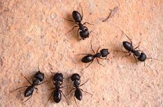Evde karınca nasıl gider? İşte en etkili karınca ilacı | Yaşam Haberleri