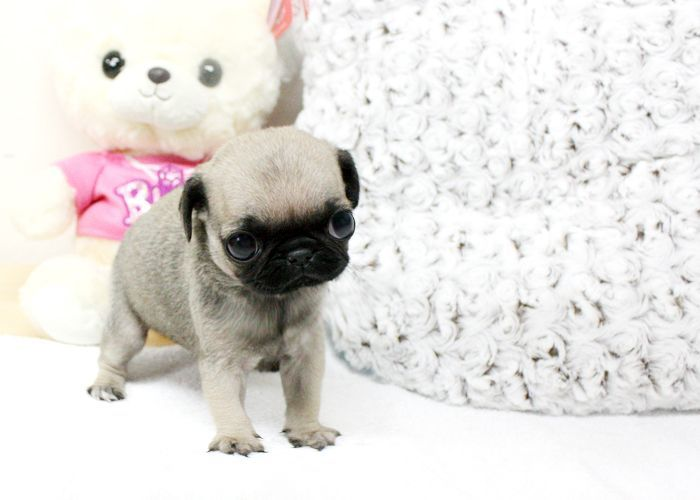 Baby Micro Lucy Sold But We Can Locate A Teacup Pug For You If