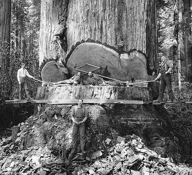 Old growth redwood - it's incredible to imagine those forests were decimated with only hand tools & backbreaking labor. #America