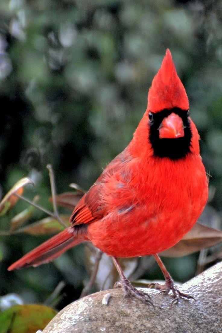 1238 best cardinal images on pinterest cardinals cardinal