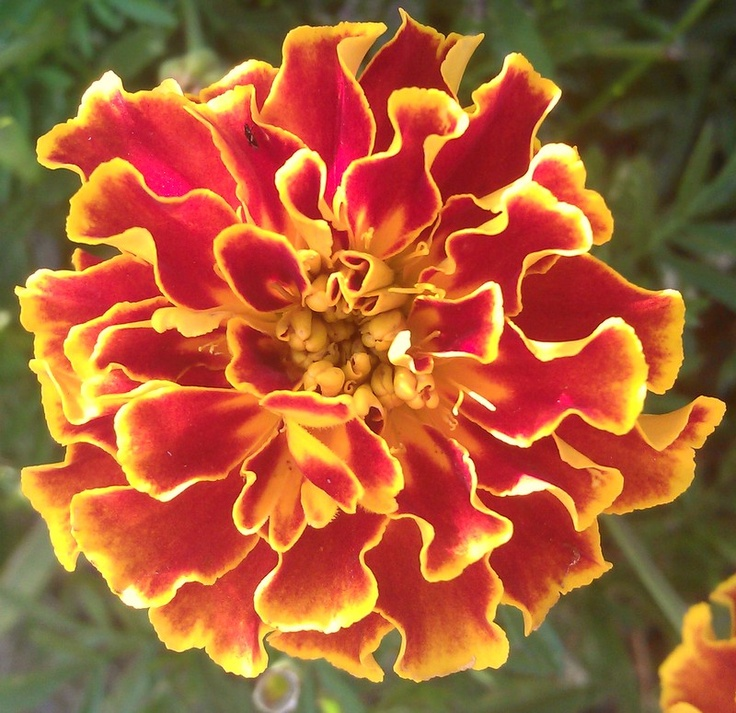 Hero Flame marigold flower. Beautiful red center with yellow-tipped petals.