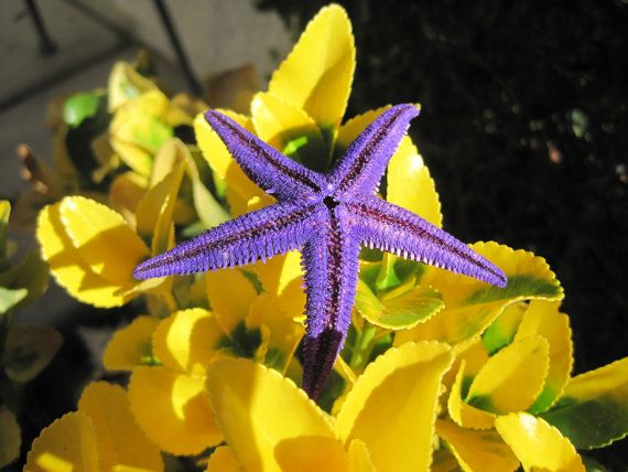 Lila gefärbt Mini Starfish (10 pc) - farbige Mini Starfish - bunt lila Seestern - Seashell Supply - Craft Muscheln Strand Hochzeit