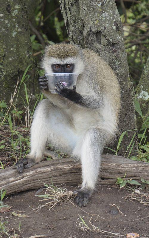 Monos... estos curiosos amigos robarán toda tu comida si te descuidas un segundo durante tu almuerzo en el Masai Mara en Kenya! No te pierdas los mejores consejos para organizar tu safari en el país africano en www.espressofiorentino.com #viajar #Kenya #Kenia #Safari #animales