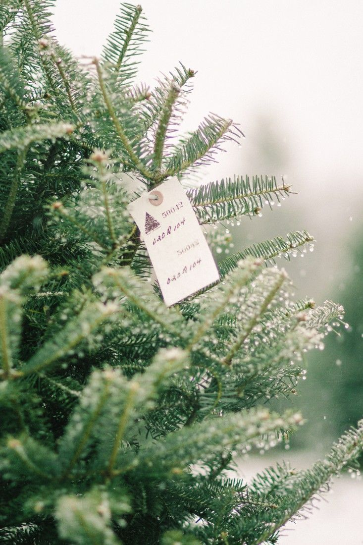 Smaller trees are tagged red or blue depending on whether they're meant for tabletop or a tiny living room. When it reaches a height of 7 feet, a tree graduates to a white tag; those sell for $57 apiece. old-farm-christmas-tree-farm-Justina-Bilodeau-gardenista-0015.jpg Above: