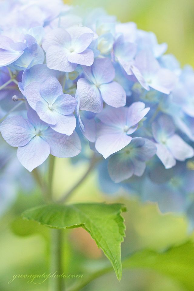 Soft lavender and blue hydrangea