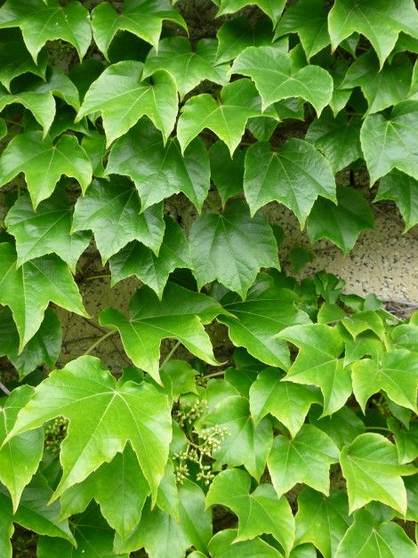 """Parthenocissus tricuspidata """"Veitchii"""", the Boston Ivy or Japanese creeper - Leaves are trilobal with toothed margin, They are light green in spring, bright green in summer and turn purple-red in autumn. http://www.vivaiguagno.com/en/trees-grow-plants/parthenocissus-tricuspidata-veitchii/"""