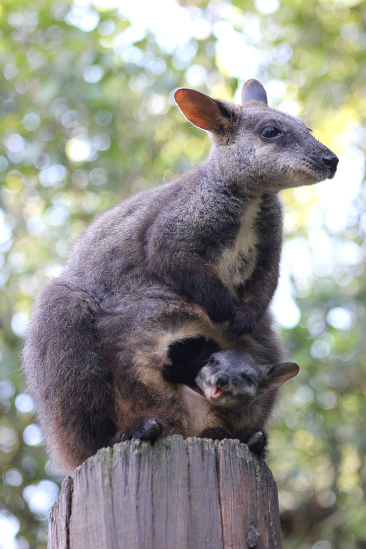 Surprise! Keepers are celebrating the unexpected birth of a Brush-tailed Rock-wallaby.