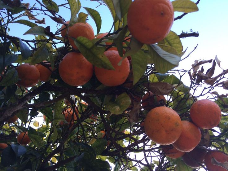 I want my own #orange tree! #conimbriga Portugal
