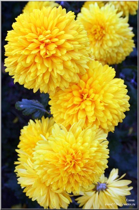 По древней китайской легенде белый дракон пытался посягнуть на само солнце. Он зубами и когтями рвал его, а искры падали на землю и превращались в желтые цветы, которые потом и назвали хризантемами.