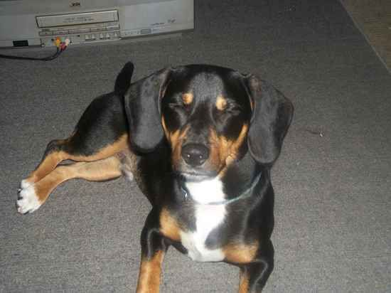 Doxle (Beagle X Dachshund Mix) Info, Temperament, Puppies, Pictures This looks just like Wiggabutt :)