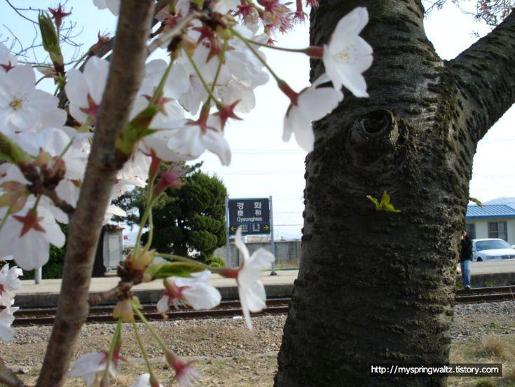 경화역 그 흐드러지게 핀 벚꽃 나무와 흩날리는 벚꽃... Gyeonghwa Station, a train station covered with a lot of cherry blossom flowers and falling petals...