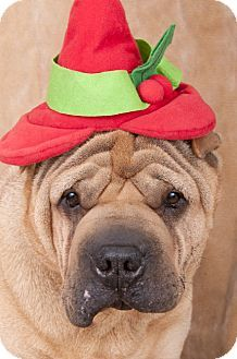 Chicago, IL - Shar Pei. Meet Abe, a dog for adoption. http://www.adoptapet.com/pet/17204790-chicago-illinois-shar-pei