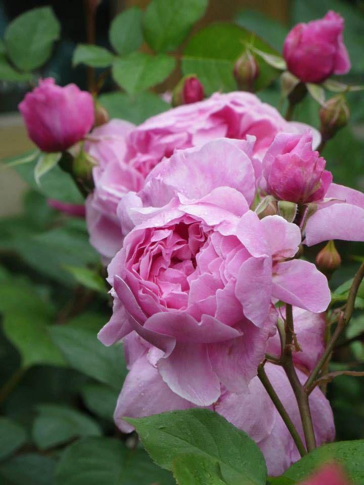 English Rose, shrub rose 'Sister Elizabeth', bred by David C. H. Austin (United Kingdom, before 2006).