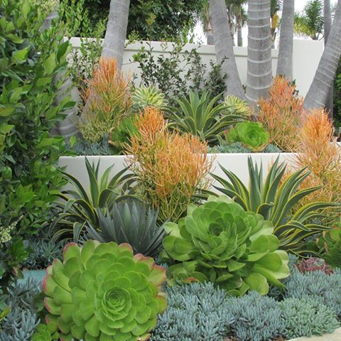 This project is a good example of a California Friendly garden that we would categorize as Arid Tropical. The larger plantings are established palms and subtropicals, while the middle and lower layers are a tapestry of Agaves, Aeoniums, Echeveria and Senecio. Irrigation is customized to keep the moderately thirsty subtropicals happy while denying water to the others.  http://rogersgardenslandscape.com/