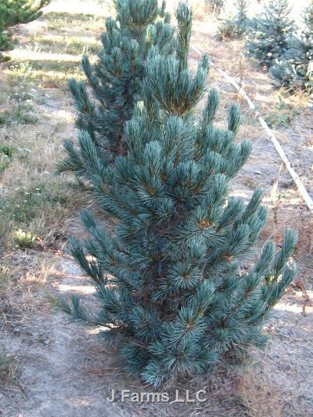 Pinus cembra 'Glauca Nana' | Wholesale Nursery Supplies & Plant growers in Oregon | Nursery Guide