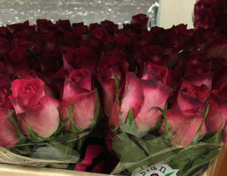 Roses Nicoletta