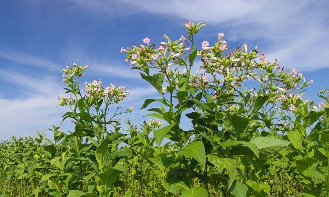 Planta del tabaco