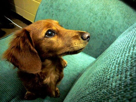 I love long-haired dachshunds. This one reminds me a little of Running Bear... oh, how I miss him. lifeinaday