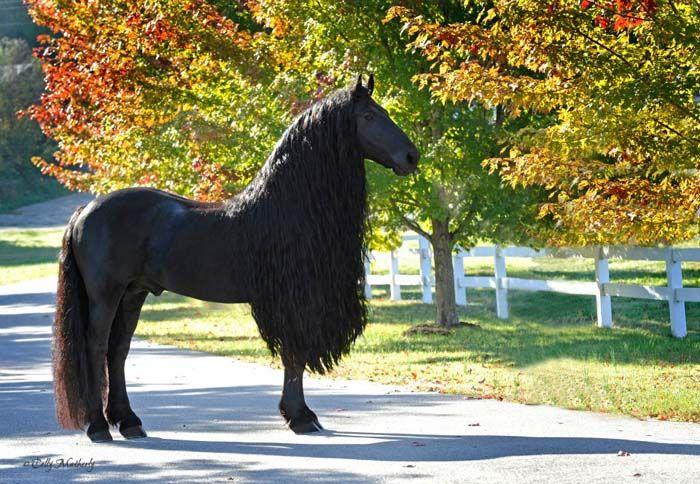 Si vous êtes un admirateur de chevaux, découvrez le plus magnifique d'entre eux. Il s'appelle «Frederik The Great», c'est un frison et une vraie star sur la toi...