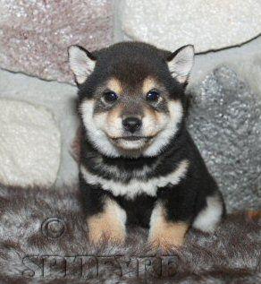 cute shiba inu puppy. Maybe boy black and tan next time.