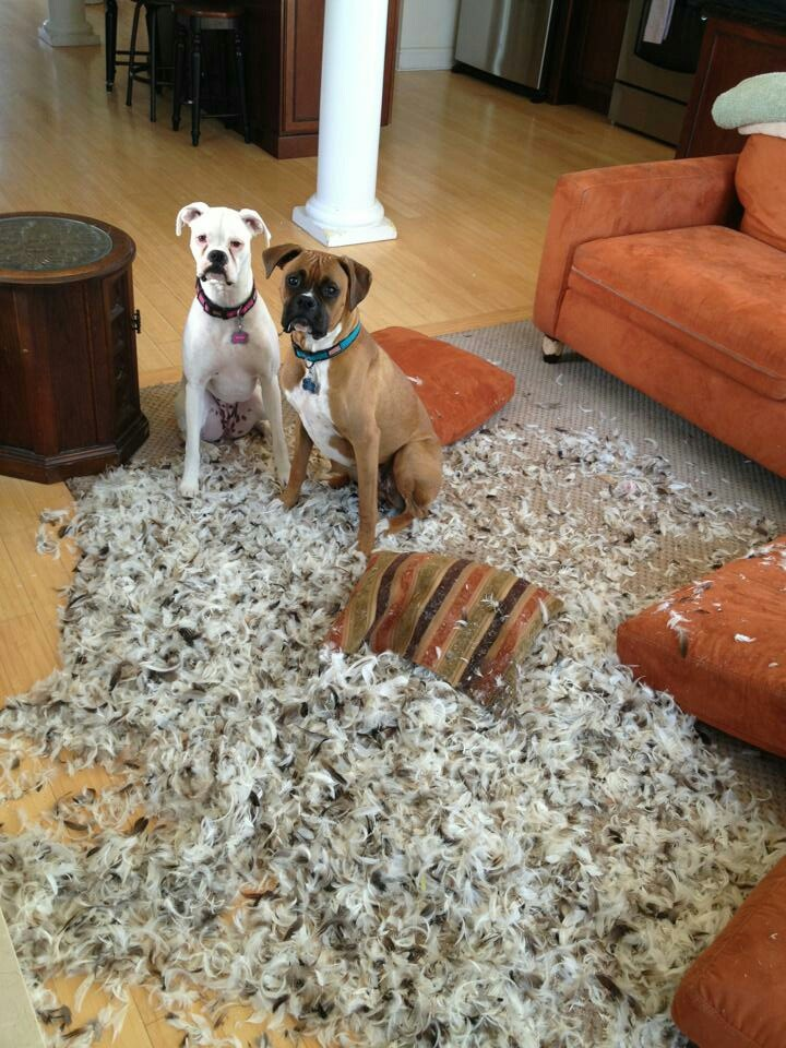 """""""Guess who started it and will lie?"""" #dogs #pets #Boxers Facebook.com/sodoggonefunny"""