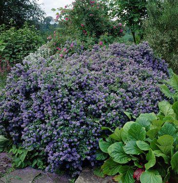Ceanothus impressus Puget Blue (immergrün)