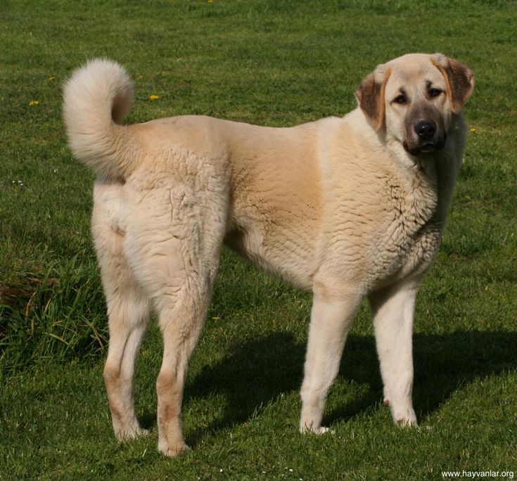 Anatolian Shepherd. I have an Anatolian Shepherd mix. Love them!