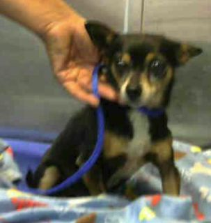 DEVORE,CA. WILL BE ON EUTH LIST 05/22/18. Murray ID# A696257. 13 yr. old male Chihuahua. Rescue only. Behavior & limping on front leg. Arrived 05/16/18.